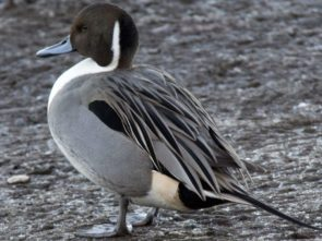 The pintail (Anas acuta)