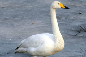 The whooper swan (Cygnus cygnus)
