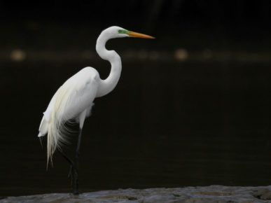 The great egret (Ardea alba)