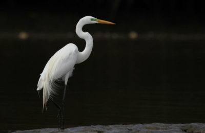 The great egret (Ardea alba)