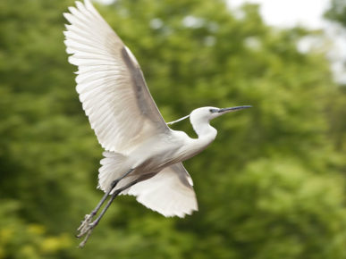 The little egret (Egretta garzetta)