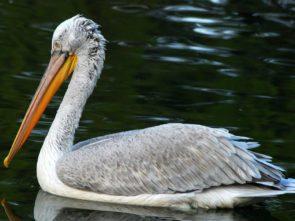 The Dalmatian pelican (Pelecanus crispus)